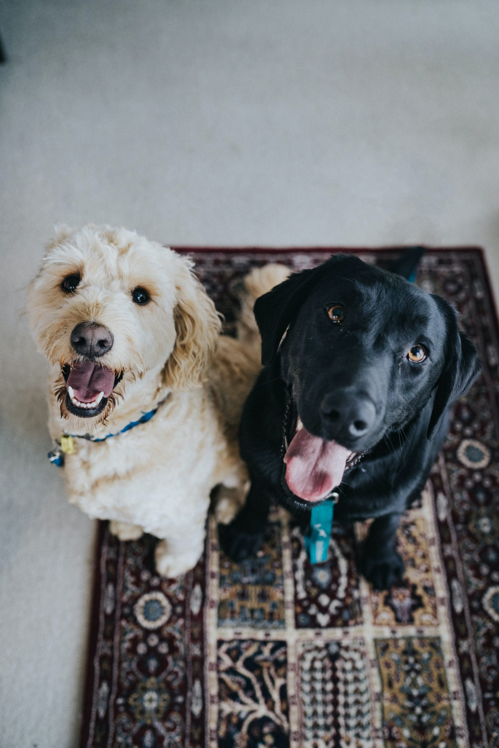two dogs sitting on maroon area rug