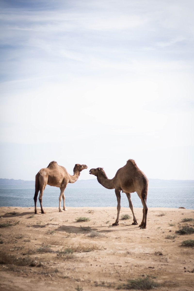 two brown camels near body of water